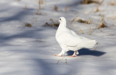 70215214 - white dove in the snow in the winter