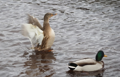 67219846 - duck flaps its wings on the lake