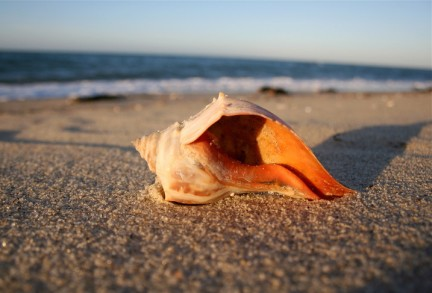 conchshell on Beach