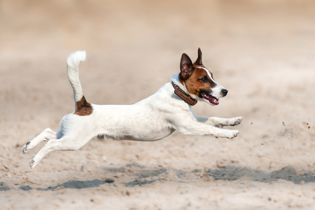 85016325 - jack russell terrier run and jump on beach