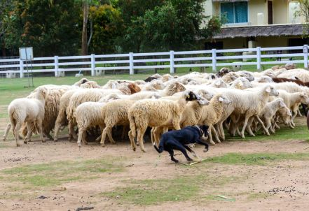 36799992 - sheep dog run herding sheeps in the farm