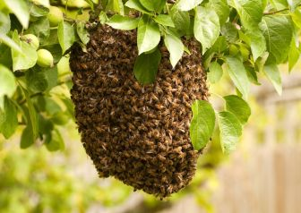 5049295 - swarm of bees visiting an apple tree in their thousands