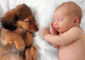 43041676 - newborn baby girl  and dachshund puppy asleep on a white blanket.