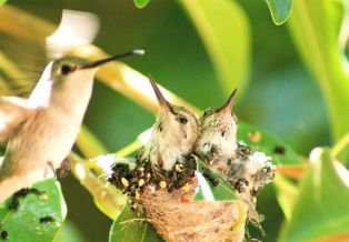 5652937 - mother humming bird feeding her babies