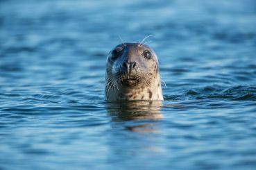 41516623 - common seal in the sea