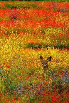 Deer in the wild flowers