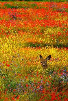 Deer in the wild flowers