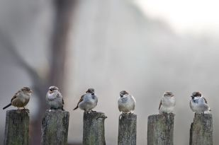 17435205 - sparrows in a row on wooden fence