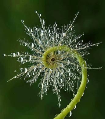 fiddlehead fern with dew