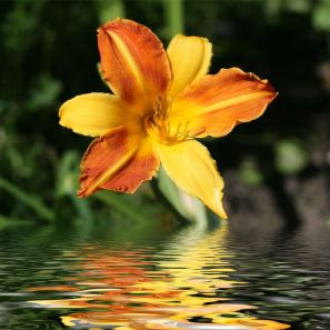 2337492 - yellow-orange day-lily and its reflection in water.